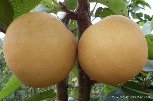 梨樹苗 2