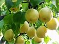 梨樹苗 3