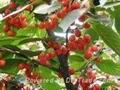 櫻桃樹苗 5