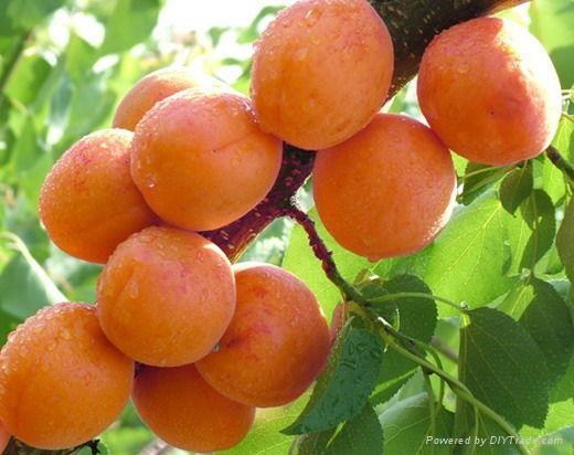 杏樹苗 1
