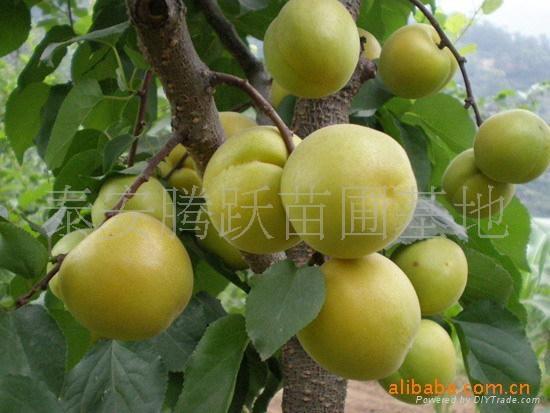 杏樹苗 3