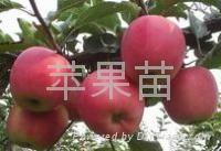 蘋果樹苗 1