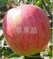 蘋果苗 3