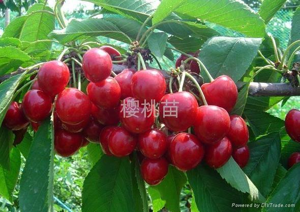 大櫻桃樹苗 1