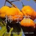 柿子樹苗 1