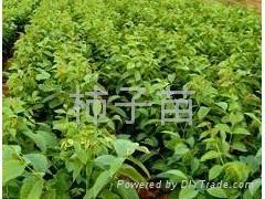 柿子樹苗 2