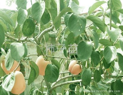 柿子樹苗 3