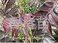 香椿樹苗 1