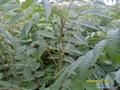 香椿樹苗 2