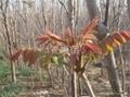 香椿樹苗 3