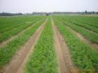 2012 fresh carrot