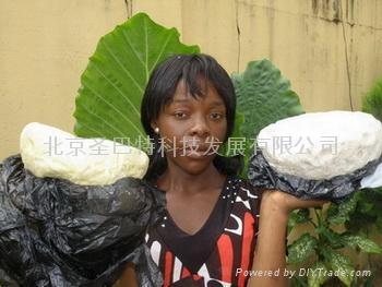 非洲原產乳木果油 1