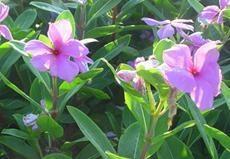 Vinpocetine-Periwinkle plant Extract Vinca Minor L