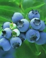 blueberry anthocyanin(resist radiation)