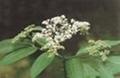 elderberry anthocyanin