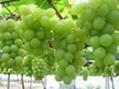 grape seeds extract(resist radiation)