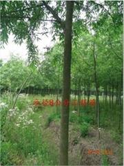 米徑8公分竹柳工程苗