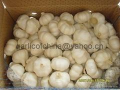 Snow white  Garlic