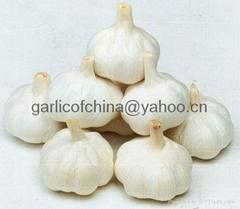 Pure white Garlic Of China