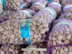 Export Pure white Garlic