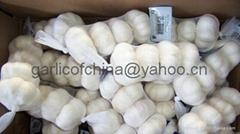 Pure white garlic of China 2011