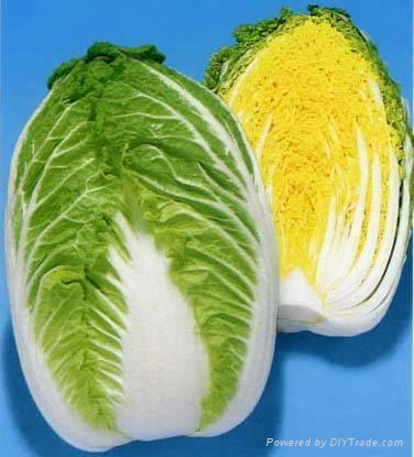 chinese cabbage 1