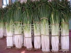 中華巨蔥大蔥種子