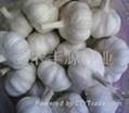 金蒜2号新上市大蒜种子