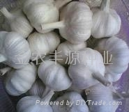 金蒜2號新上市大蒜種子