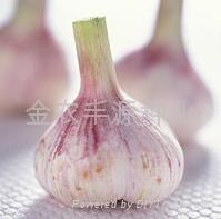金蒜1號金鄉大蒜種子