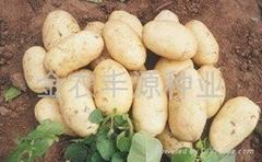 秋播脫毒土豆種子荷蘭七號