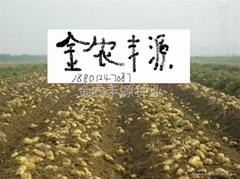 早熟土豆種子荷蘭15號