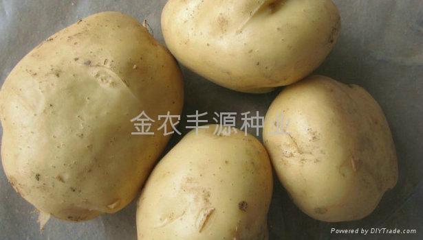 早熟脱毒土豆种子早大白 1