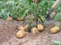 早熟脱毒土豆种子早大白 2