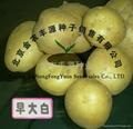 早熟脱毒土豆种子早大白 4