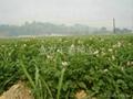 早熟脱毒土豆种子早大白 5