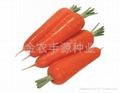 日本进口胡萝卜种子 2