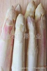 阿波罗芦笋种子种苗