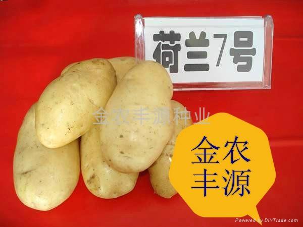 荷兰7号土豆种子 1