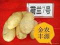 荷兰7号土豆种子