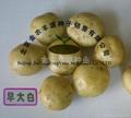 荷兰7号土豆种子 2