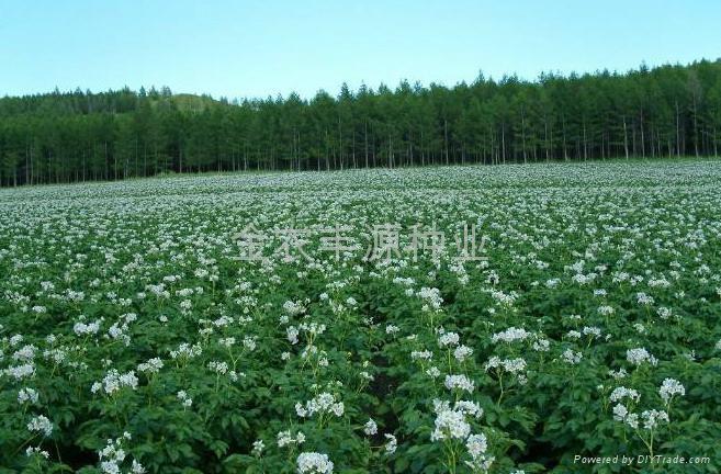 荷兰7号土豆种子 3