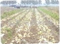 荷兰7号土豆种子 4