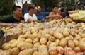荷兰7号土豆种子 5