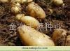 土豆的种子