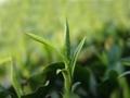 Green tea extract 2