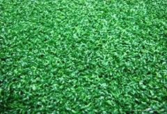 Golf green turf