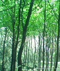 湖南新木园香樟直径18cm
