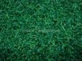 高爾夫果嶺草 3