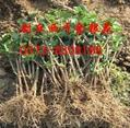 四季金银花种植基地 1